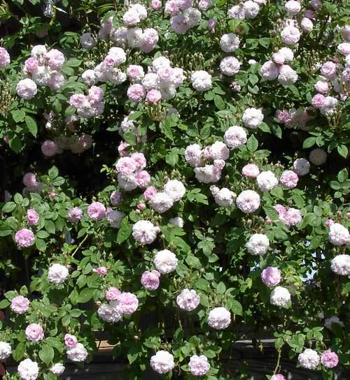 Многоцветковая роза rosa multiflora carnea