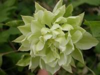 Клематис - травянистый, кустовой