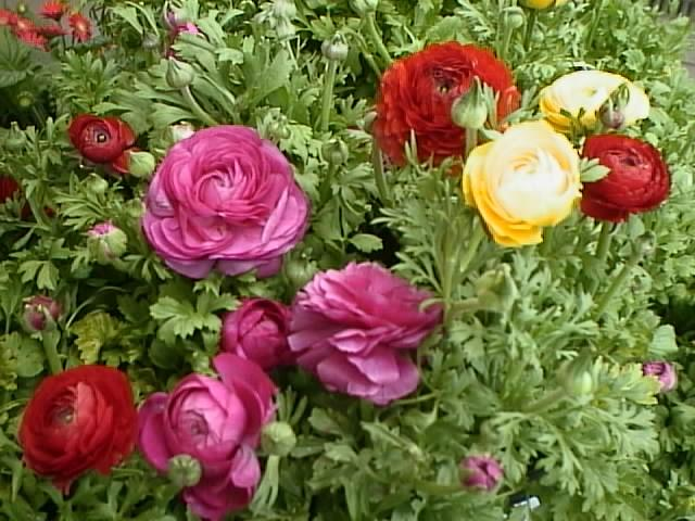 Цветы картинки лютики