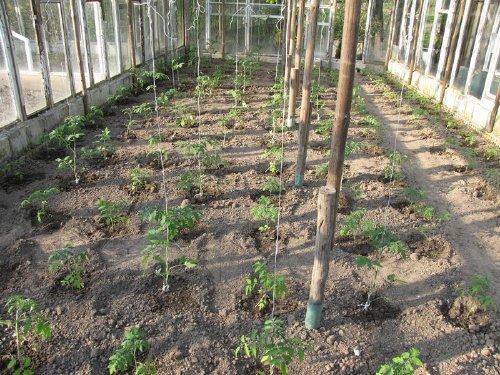 когда высаживать семена перца на рассаду