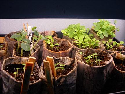 Выращивании рассады перца томатов